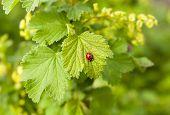 pic of ladybug  - Red ladybug on a green leaf currants - JPG