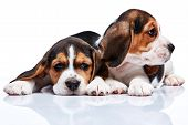 picture of puppy beagle  - The two beagle puppies lying on the white background - JPG