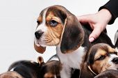 stock photo of puppy beagle  - Beagle puppy lying on the white background among other sleeping puppies - JPG