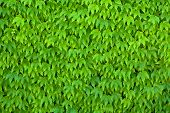 foto of ivy  - Wall Covered with Green Parthenocissus Tricuspidata Leaves also known as Boston Ivy - JPG