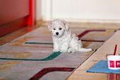 foto of bichon frise dog  - cute small bichon frise puppy posing indoors notice shallow depth of field - JPG