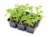 stock photo of plant pot  - Tomato seedlings in a pot isolated on white background - JPG