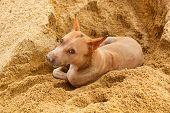 pic of stray dog  - thai stray dog lying on sand floor - JPG