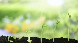 image of germination  - Bean seed germination different stages on nature background - JPG
