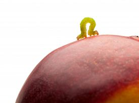 stock photo of inchworm  - Macro of looper climbing on red peach isolated on white - JPG